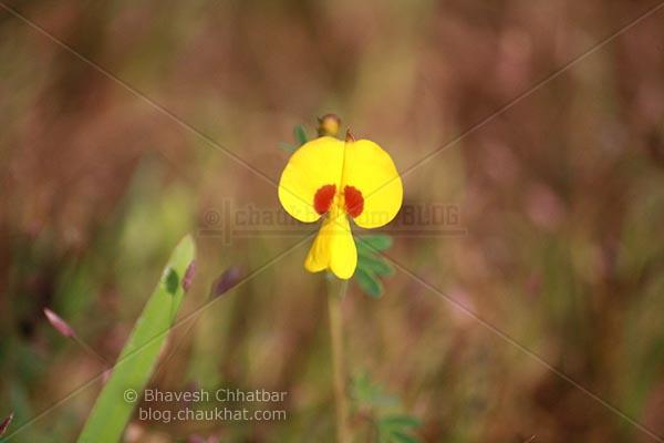 Lonely Bristly Smithia [AKA Smithia Setulosa, Motha Kawla, मोठा कवला]